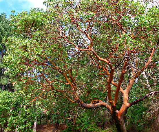 Arbutus menziesii - Xera Plants