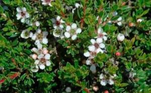 Leptospermum rupestre (Low Form)