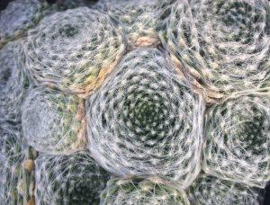Sempervivum arachnoides var. pittonii