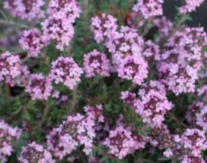 Thymus vulgaris 'Peter Davis'