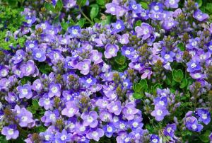 Veronica liawanensis