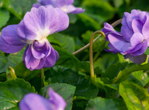 Viola odorata (Parma) 'Duchess du Parme'