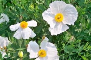 Romneya coulteri seedlings