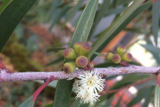 Eucalyptus kybeanensis