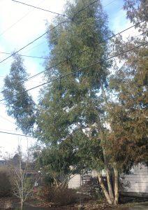 Eucalyptus archeri