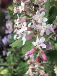 Ribes malvaceum 'Dancing Tassels'