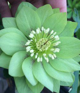 Helleborus x 'Golden Lotus' Winter Jewels ®