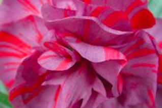Dianthus caryophyllus 'Chomley Ferran'
