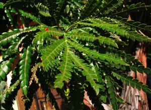 Lyonothamnus floribundus ssp. Asplenifolius