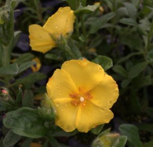Halimium x pauanum