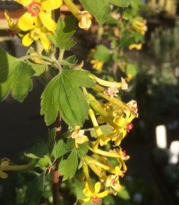 Ribes odoratum 'Crandall'