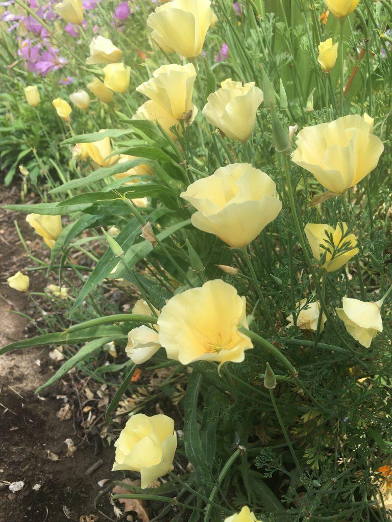 Eschscholzia californica 'Cream'