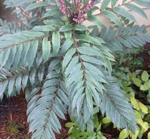 Mahonia euryobracteata 'Silver Seedlings'