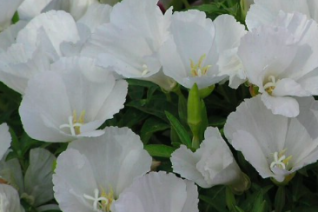 Clarkia amoena 'Dwarf White'