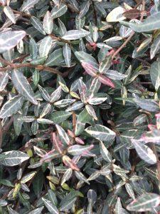 Trachelospermum asiaticum 'Chirofu Chirimen'