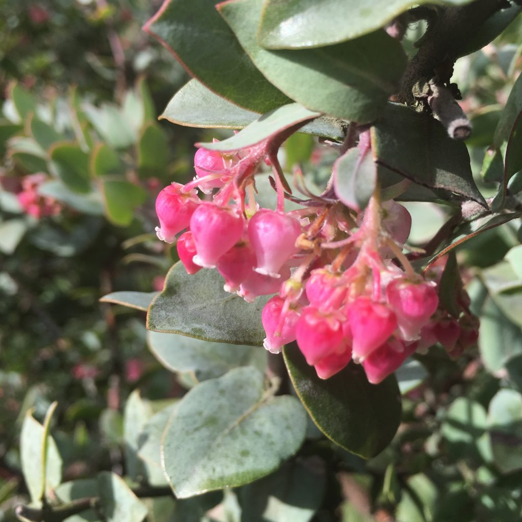 Arctostaphylos pajaroensis 'Lester Rowntree' flowers