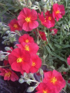 Helianthemum 'Stoplight'