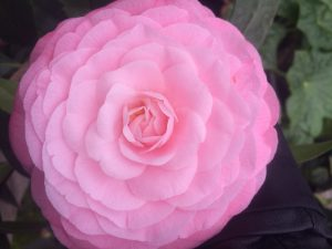 Camellia x williamsii 'Waterlily'