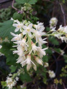 Ribes sanguineum 'Oregon Snowflake'