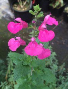 Salvia x microphylla 'La Trinidad Pink'