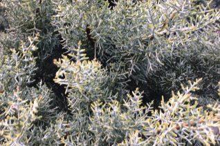 Cupressus glabra 'Sulphurea'