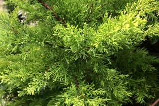 Cupressus (Hesperocypress) macrocarpa 'Citriodora'