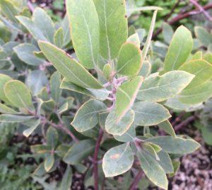 Arctostaphylos columbiana 'Parkdale East'