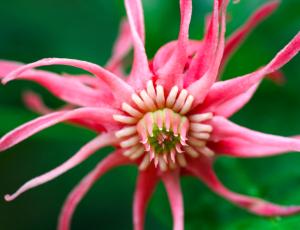Illicium floridanum 'Pink Stars'