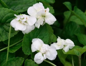 Viola odorata (Parma) 'Alba Plena'