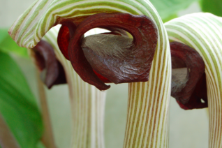 Arisaema ringens flowers