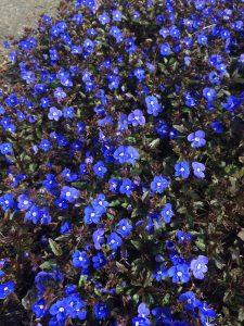 Veronica peduncularis 'Georgia Blue'