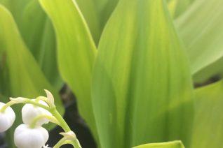 Convallaria majalis 'Fernwood's Golden Slippers'