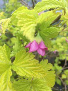 Rubus spectabilis 'Golden Ruby'