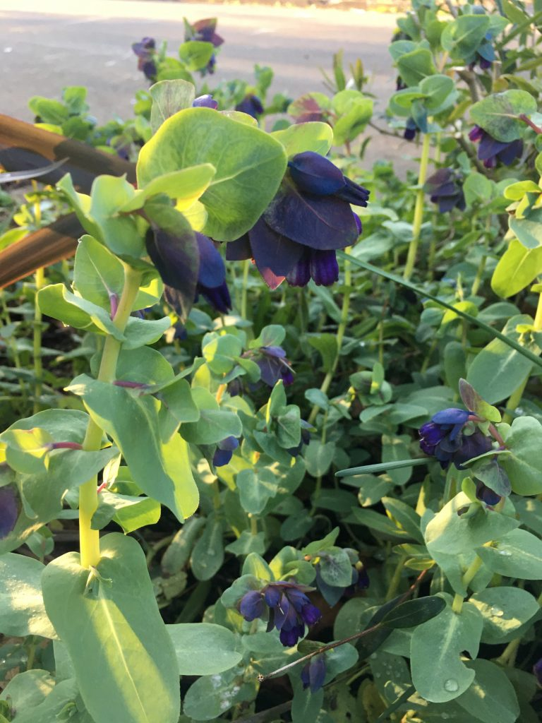 Cerinthe major var. purpurescens