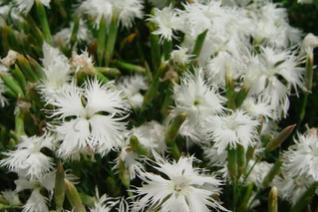 Dianthus petraeus ssp. noeanus