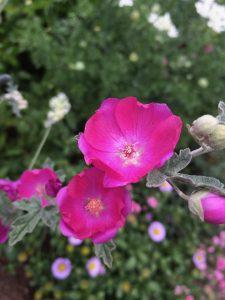 Sphaeralcea  'Hot Pink'