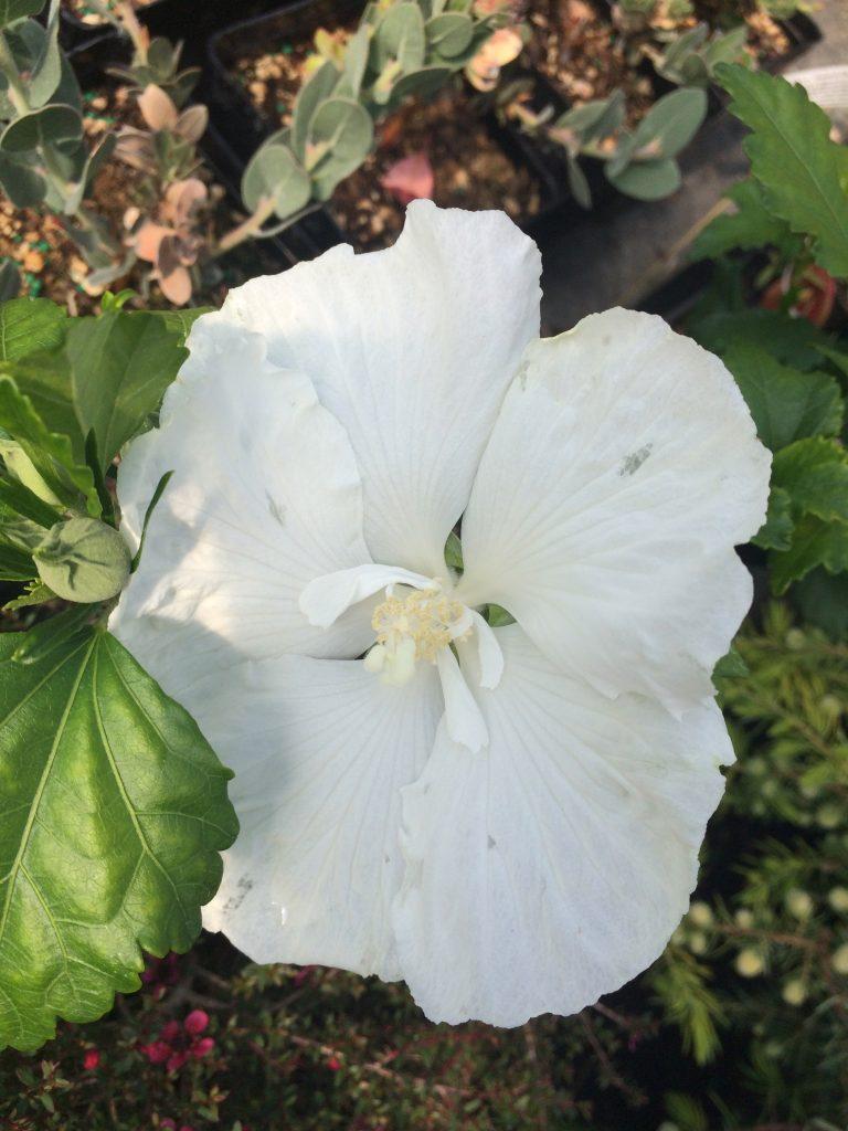 Hibiscus Syriacus Diana Xera Plants