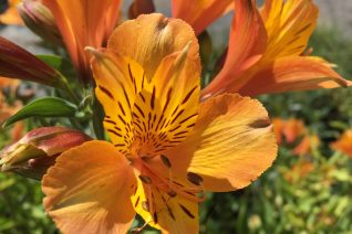 Alstroemeria 'The Third Harmonic'