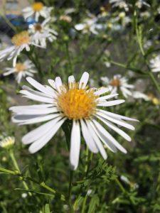 Symphyotrichum subspicatum 'Sauvie Snow'