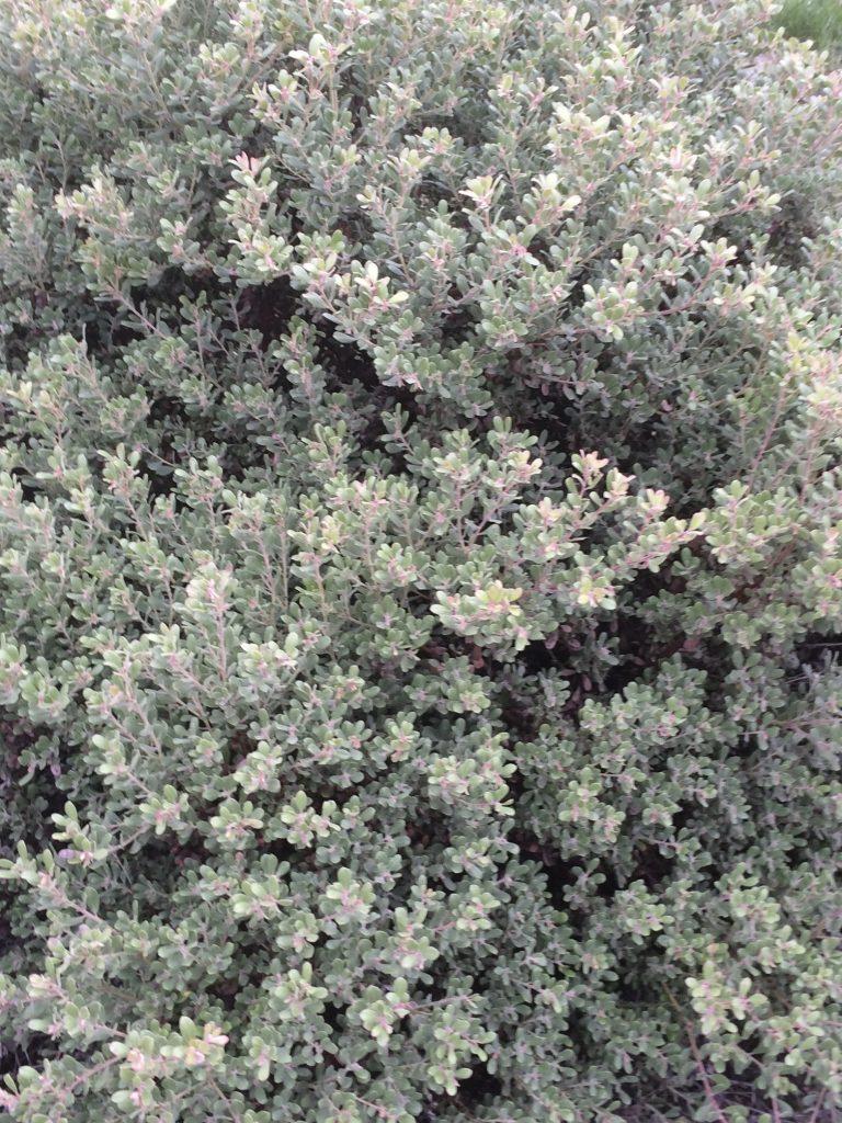 Arctostaphylos pumila 'Small Leaf Form'