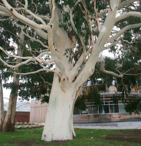 Eucalyptus dalrympleana