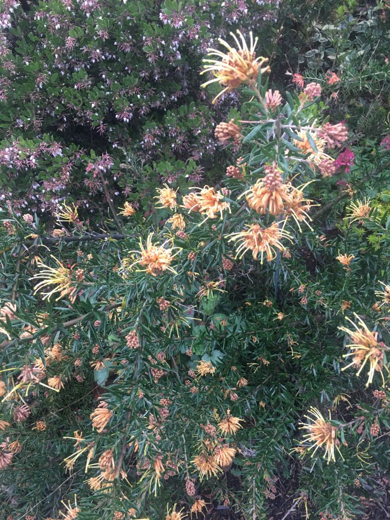 Grevillea x 'The Precious' with flowers and buds