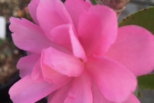 Camellia sasanqua 'Li'l Rose'