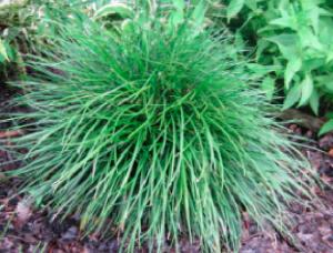 Ophiopogon umbraticola