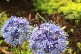 Allium caeruleum 'Heacock Form'