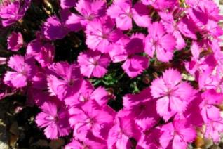 Dianthus x 'Eileen Lever'