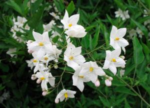 Solanum (laxum) jasminoides