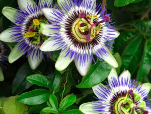 Passaflora caerulea 'Becky's Blue & White'