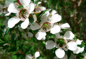 Leptospermum scoparium 'Washington Park'