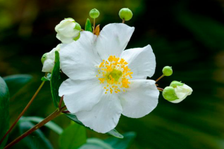 Carpenteria californica 'Elizabeth'